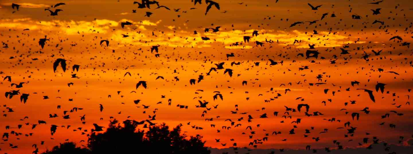 A swarm of bats at dusk in Kasanka National Park (Dreamstime)