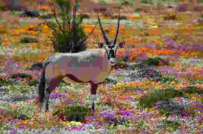An oryx amongst the wildflowers in Namaqualand (Dreamstime)