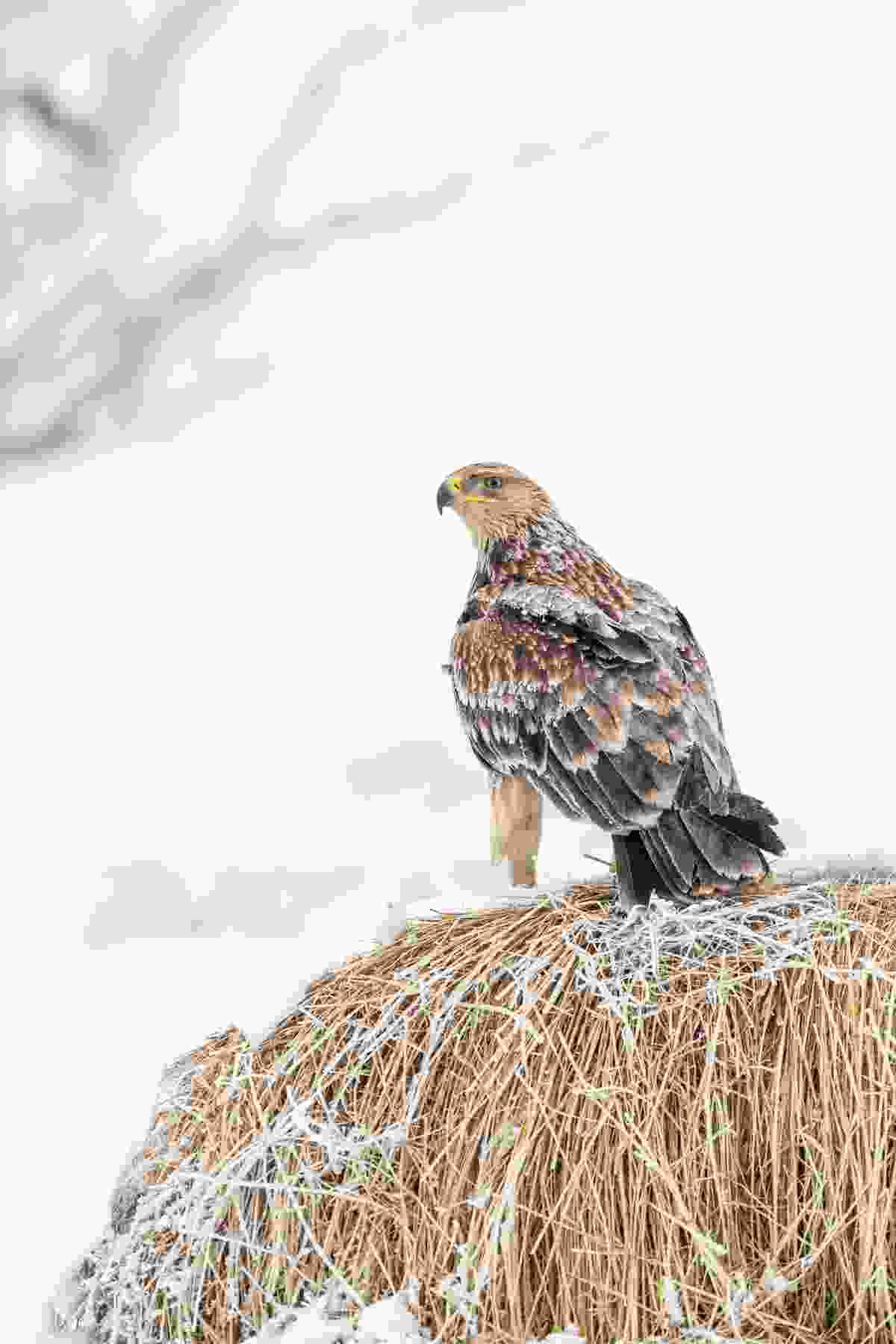 An immature eastern imperial eagle spending winter in the Hungarian lowlands perches on a hay bale (John Gooday/Alamy Stock Photo)