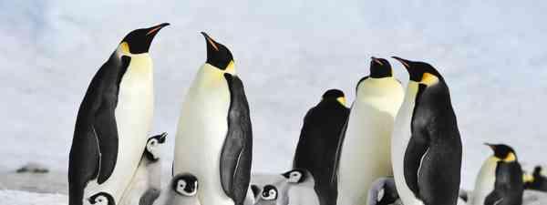 Emperor penguins (Shutterstock)