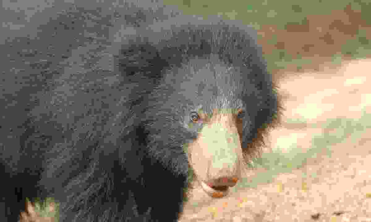 Sloth bear (Gehan de Silva Wijeyeratne)