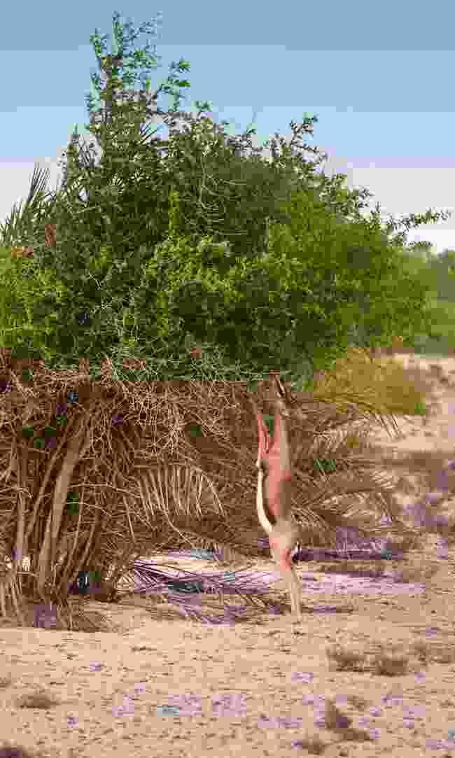 An Arabian mountain gazelle grazes  (Phoebe Smith)