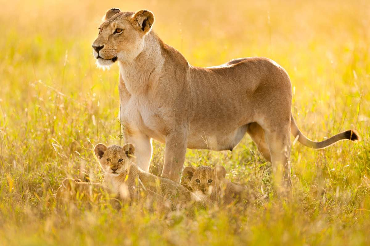 Lion and cubs on the Serengeti (Frans Lanting)