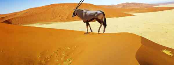 An oryx wandering through Sossusvlei Desert in Namibia (Shutterstock)