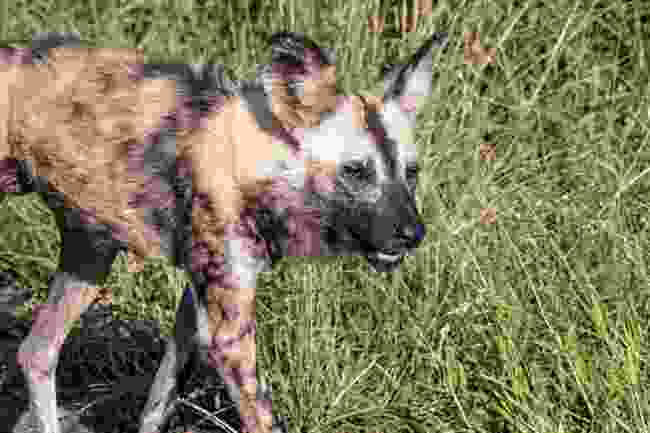 A sighting of the African wild dog at Hluhluwe-Imfolozi Game Reserve (Dreamstime)