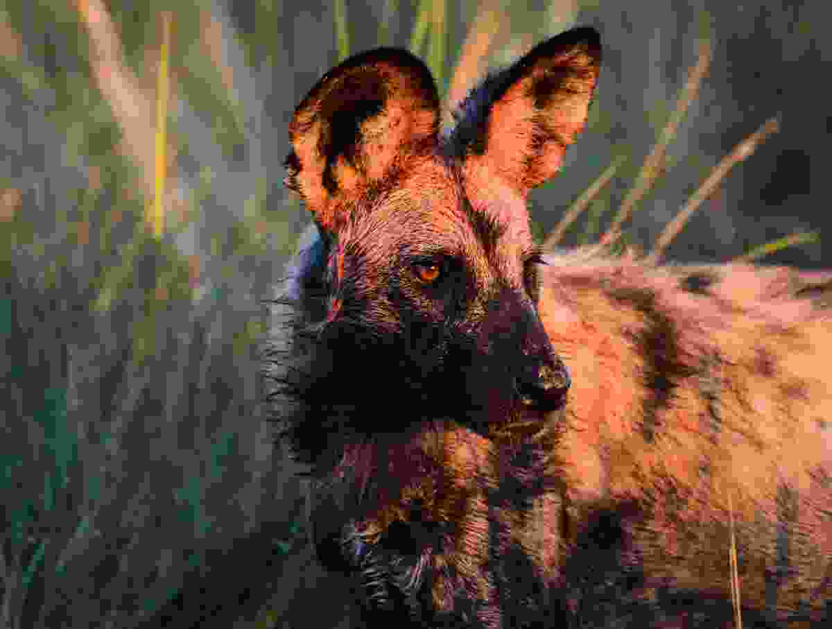 A painted wolf (Shutterstock)