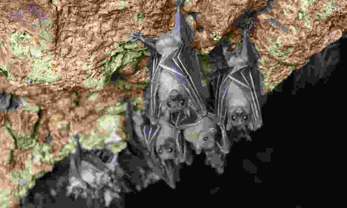 Bats hanging about in the Monfort Bat Sanctuary (Dreamstime)