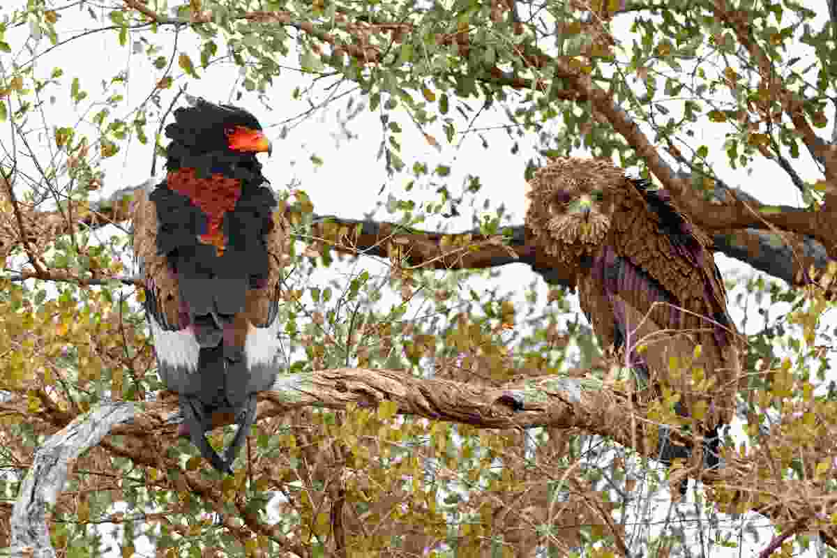 An adult bateleur (left) perched next to an immature (right) in South Africa's Kruger National Park, showing that although the two differ greatly in plumage, they share the same characteristic shape of large head, long wings, and short tail (blickwinkel/Alamy Stock Photo)
