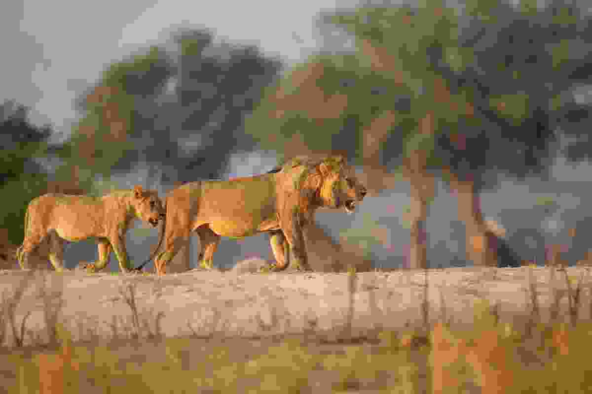 Lions in Mana Pools (Shutterstock)