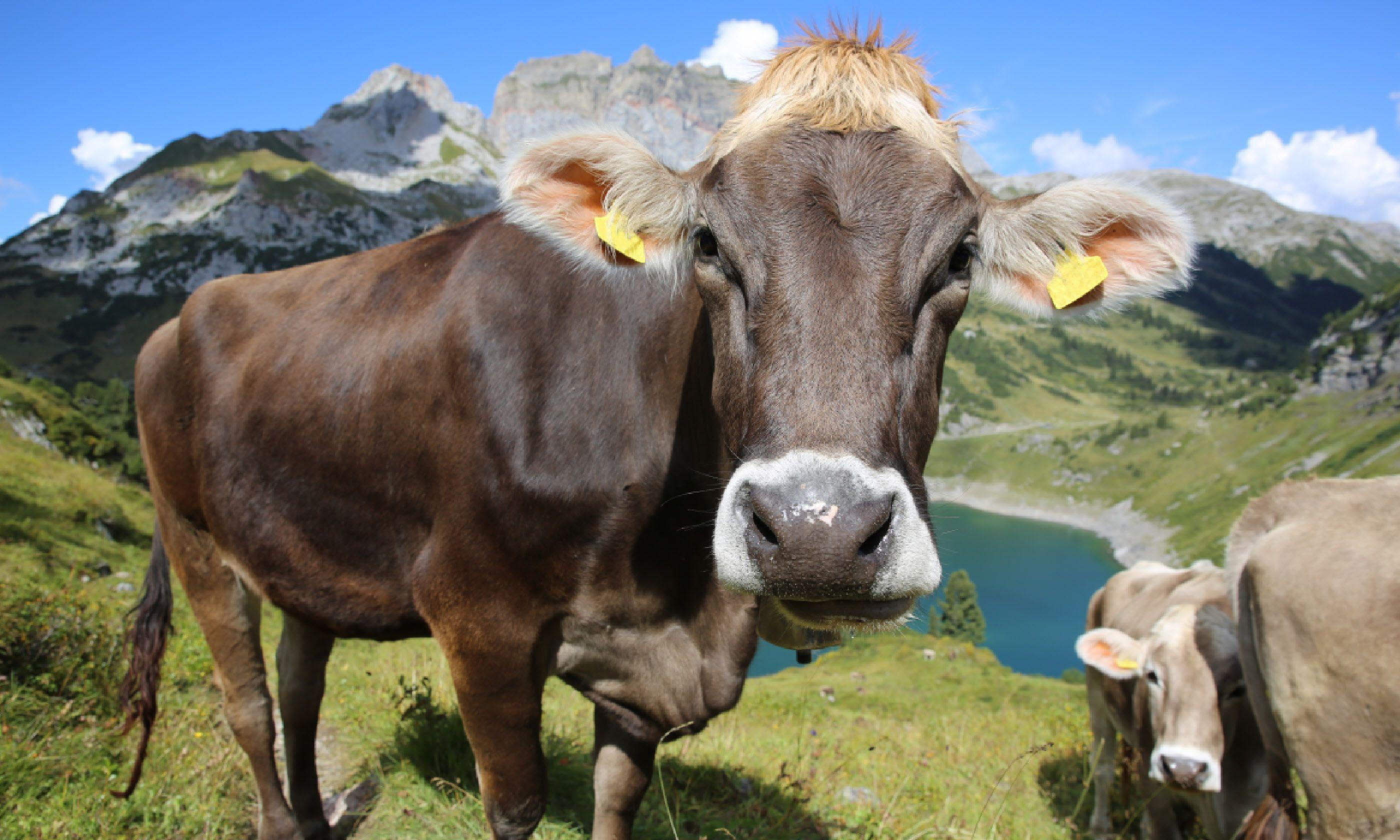 Dairy cow, Vorarlberg (Dreamstime)