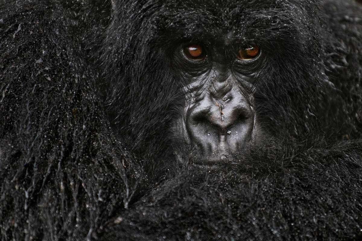 Mountain gorilla wet after rain, Volcanoes National Park, Rwanda (Frans Lanting)
