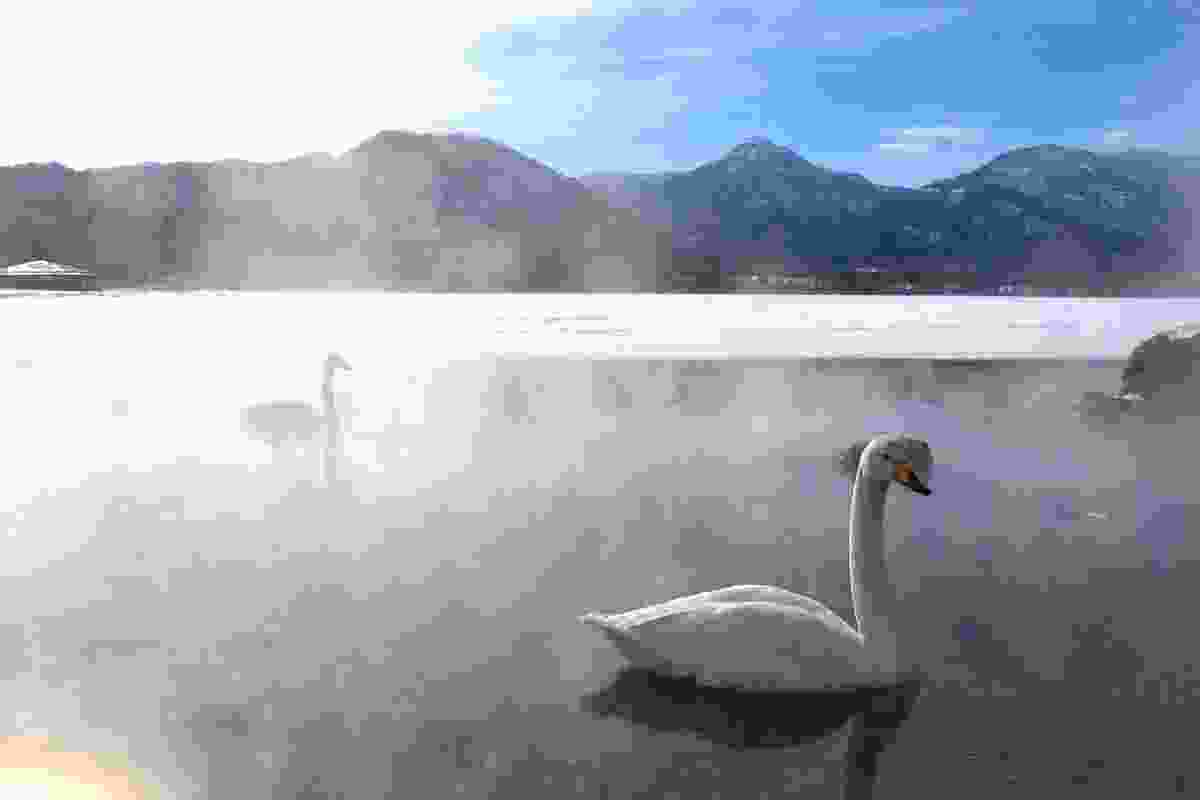 Whooper swans on frozen Lake Kussharo, Hokkaido (Graeme Green)
