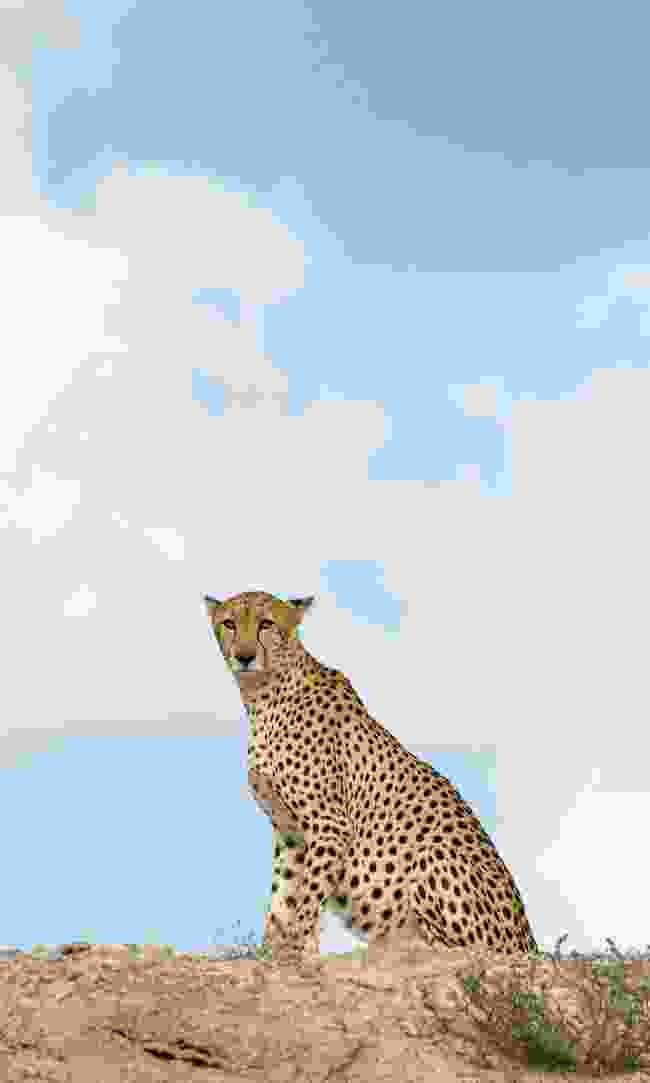 A cheetah stands to attention (Phoebe Smith)