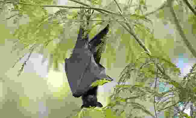 A red fruit bat, hanging out in the Northern Territory (Dreamstime)