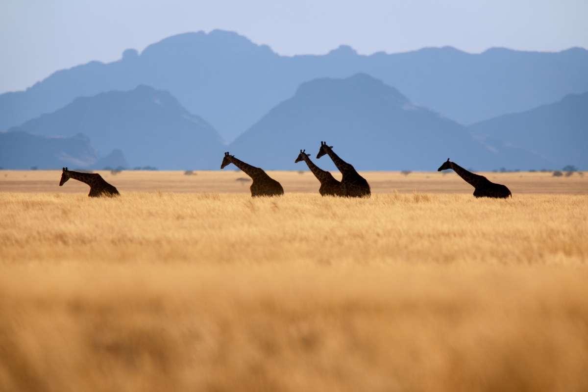 Giraffes in Namib-Naukluft National Park, Namibia (Frans Lanting)