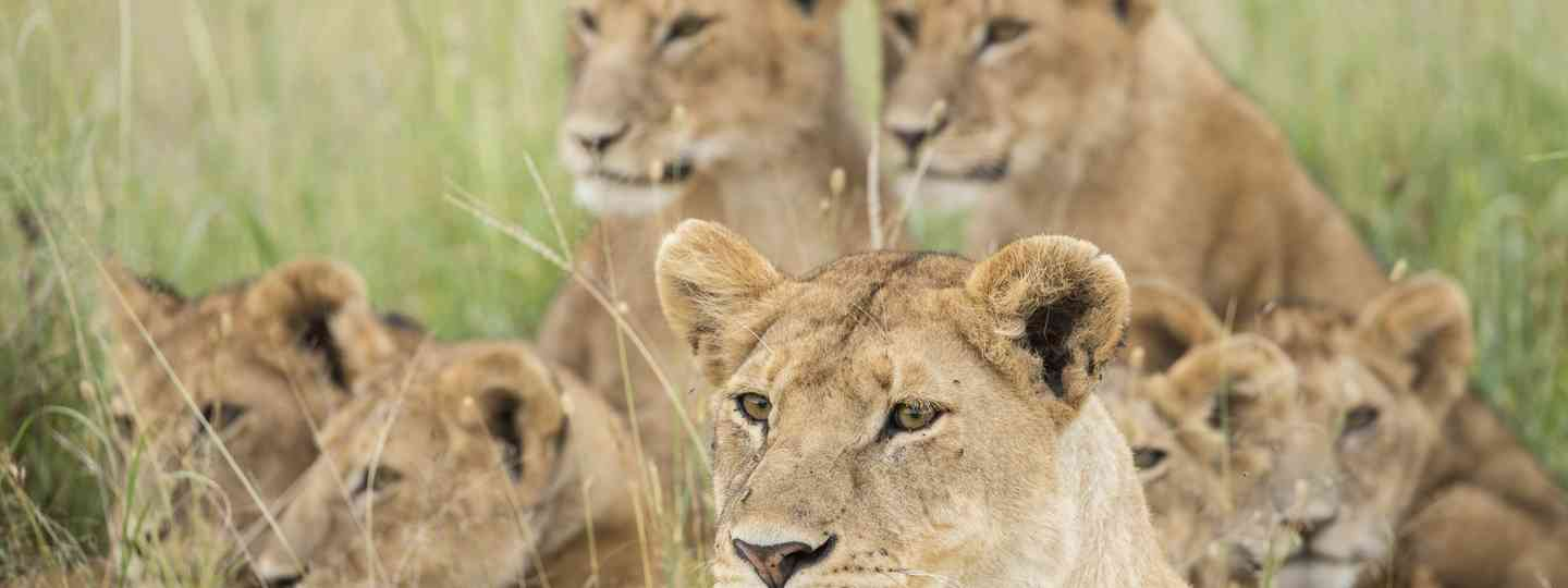 A pride of lions in the Serengeti (Dreamstime)