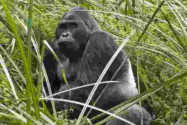 Silverback eastern lowland gorilla, Democratic Republic of Congo (Shutterstock)