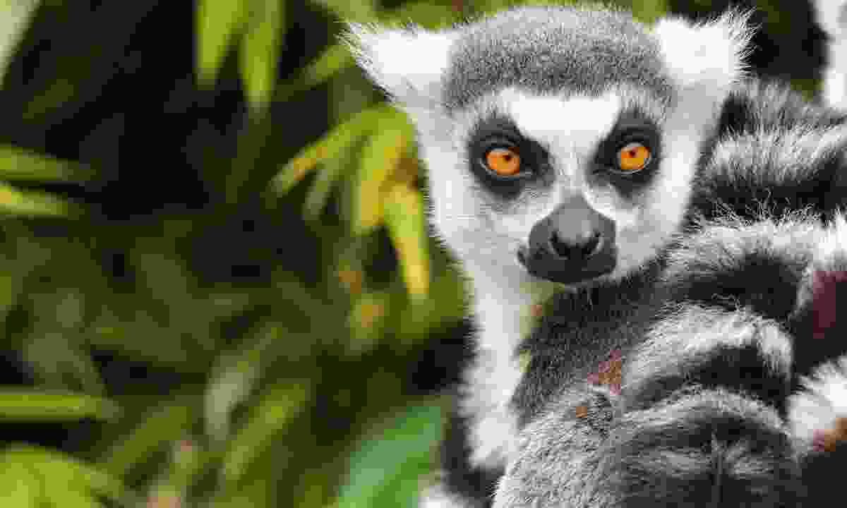 A ring-tailed Lemur in Madagascar (Shutterstock)