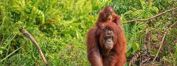 Main image: Wild orangutan in Gunung Leuser National Park (Dreamstime. See main credit below)
