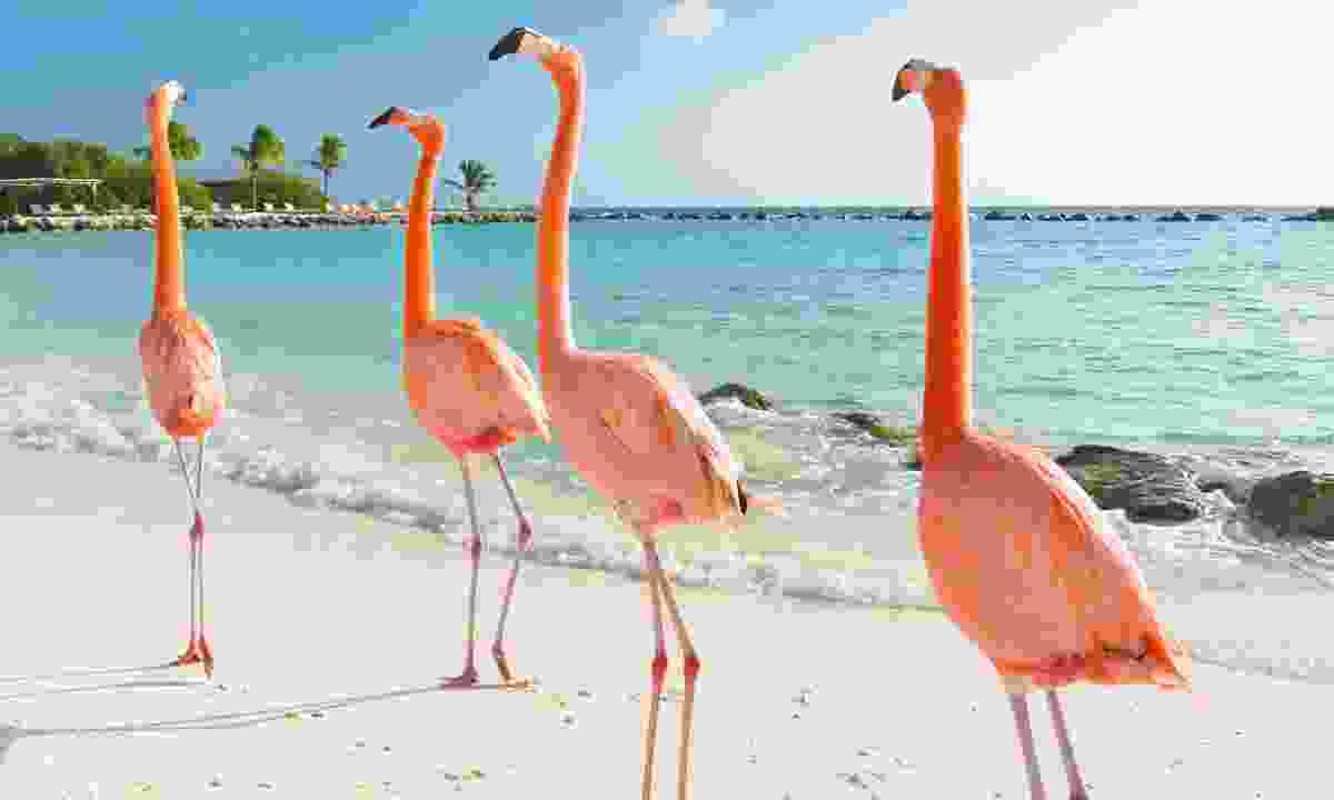 Flamingo walking on the beach in Aruba (Shutterstock)