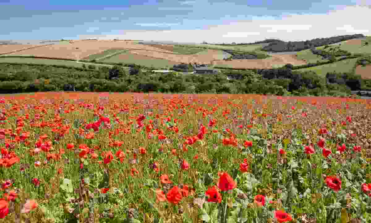 Poppy field on the South Downs Way (Shutterstock)