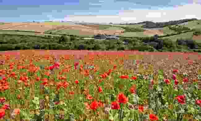 Poppy field on the South Downs Way (Shutterstock)