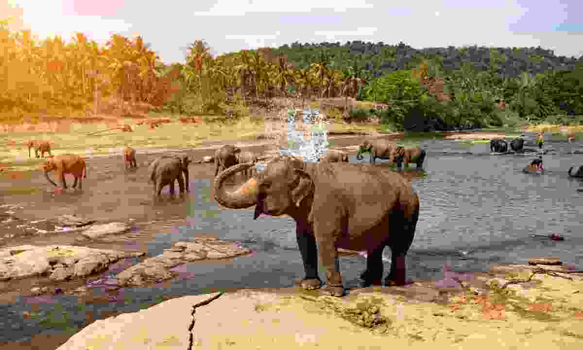 Elephants bathing in Sri Lanka (Shutterstock)
