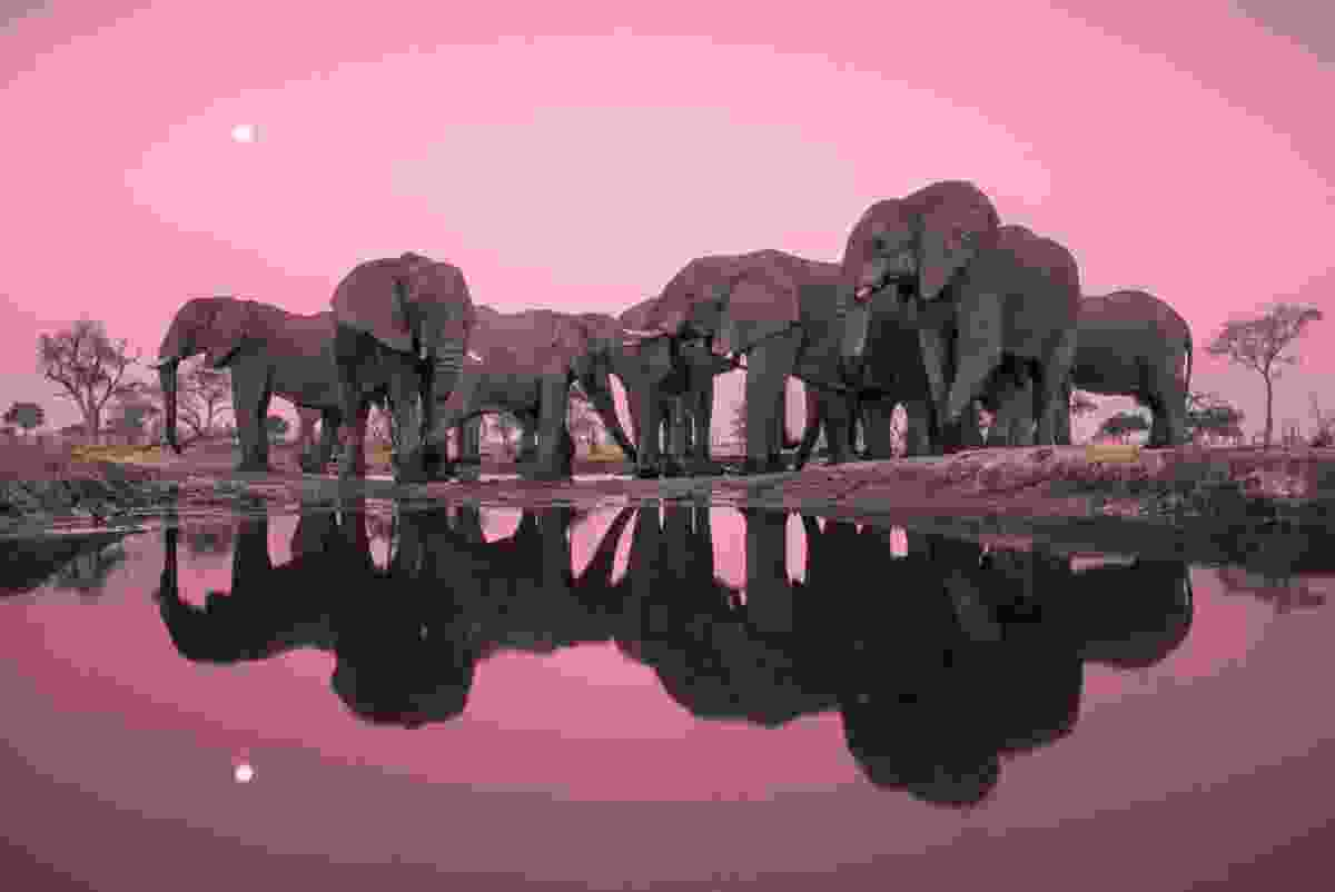 Elephants in Chobe NP, Botswana (Frans Lanting)