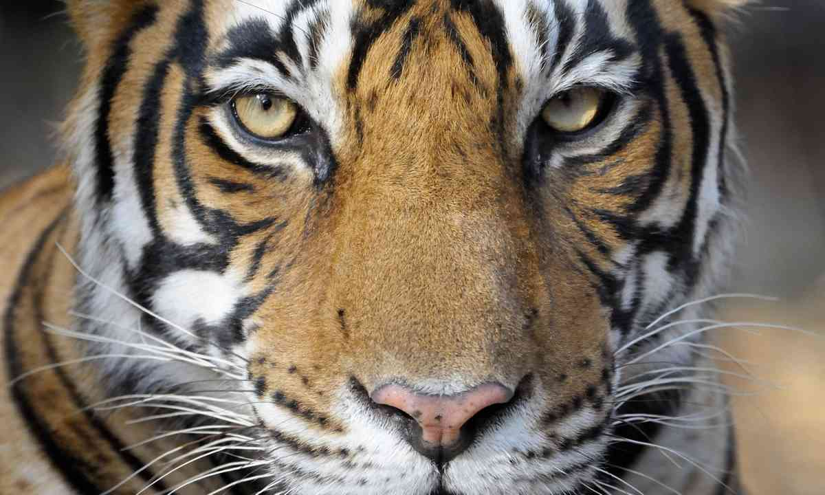 Tiger. Up close.(Dreamstime)