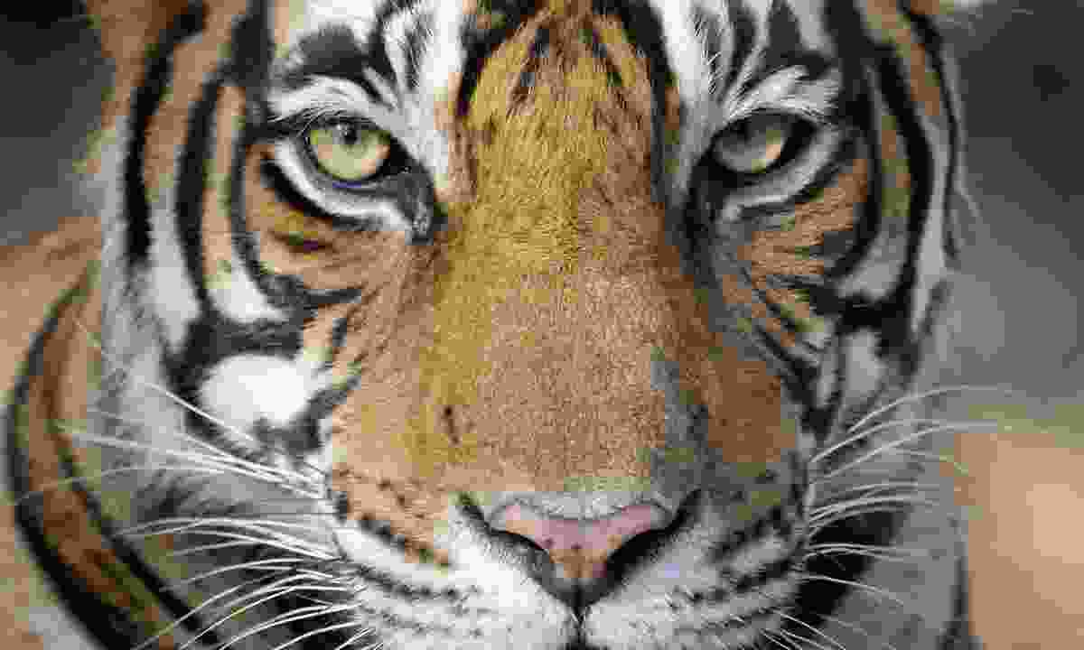 Portrait of a tiger (Dreamstime)