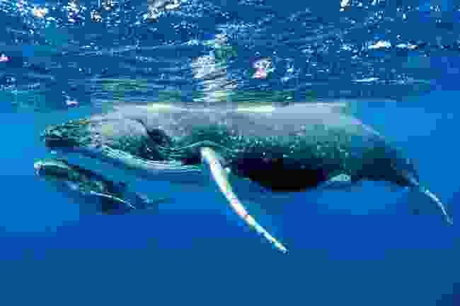 Whale calf (Shutterstock)