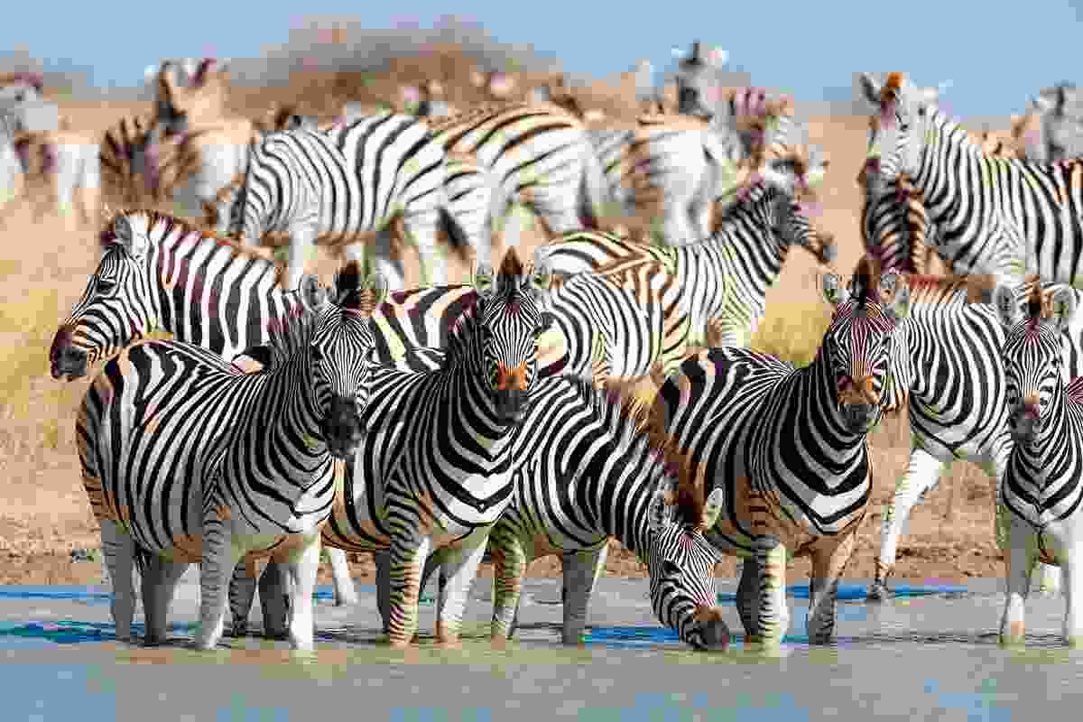 Zebra migration in Makgadikgadi Pans National Park (Shutterstock)