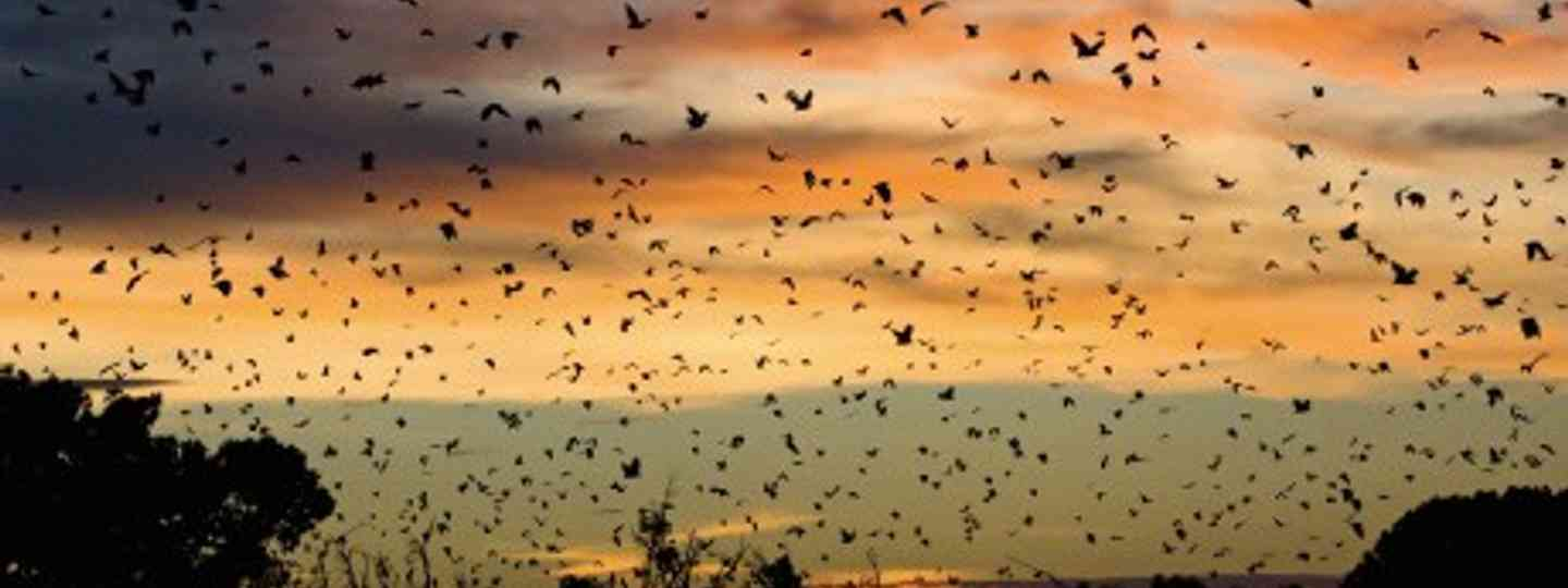 How long will Zambia's mass bat migration stay secret for? (Mark Carwardine)
