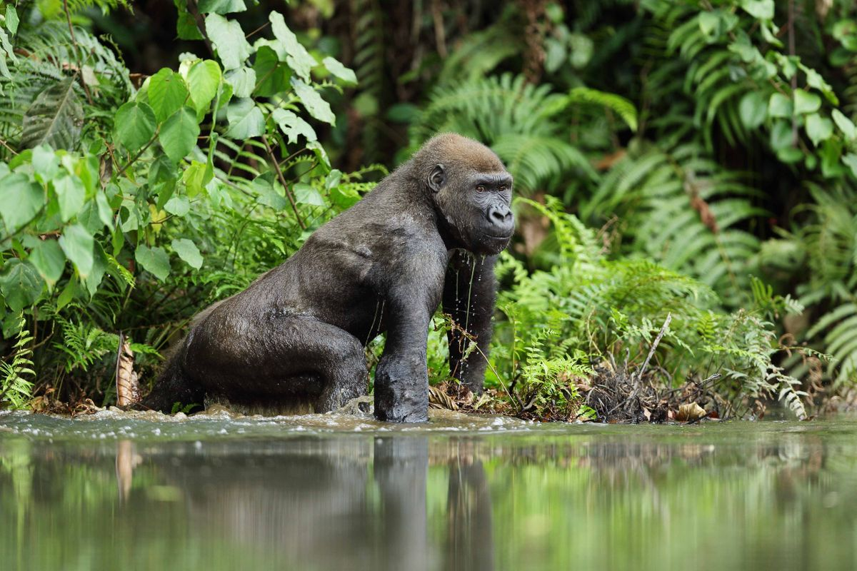 Image result for gorilla in the wild