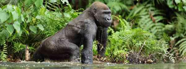 Western lowland gorilla (Shutterstock)