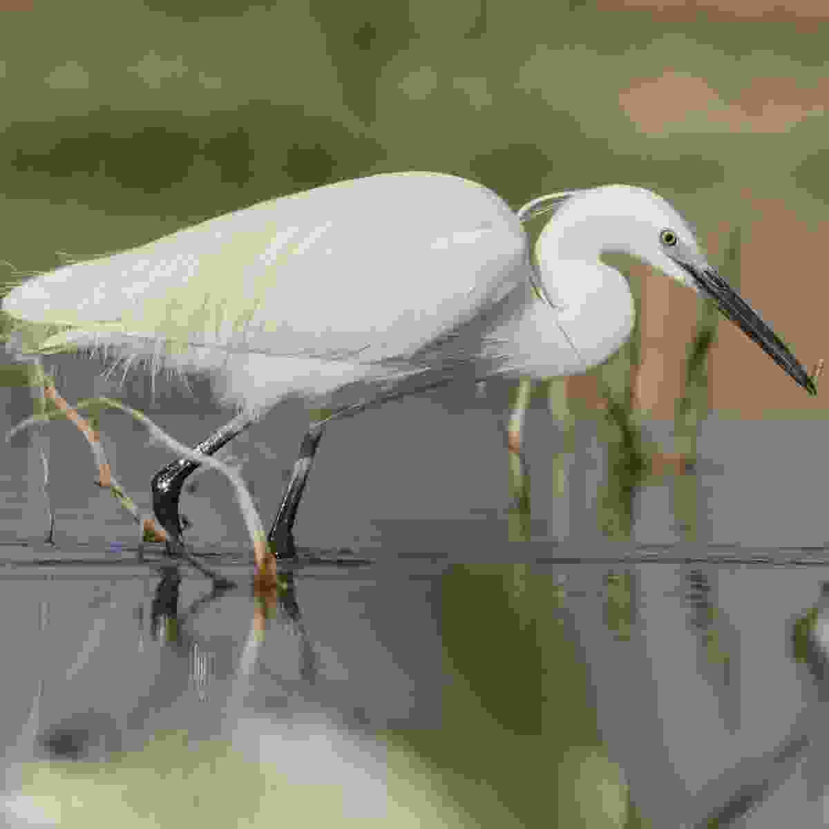 Spot little egrets alongside the White Nile at Jinja, Uganda (Dreamstime)
