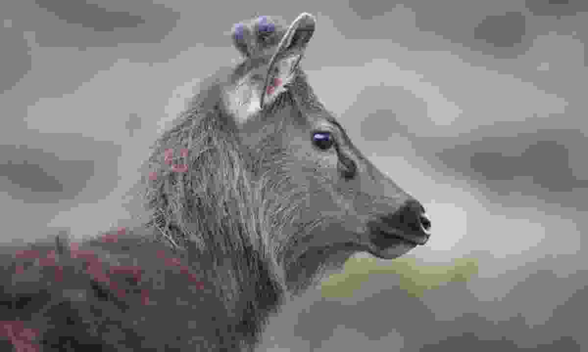 Sambar deer (Gehan de Silva Wijeyeratne)