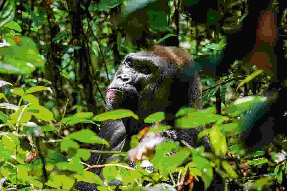 A western lowland gorilla (Shutterstock)