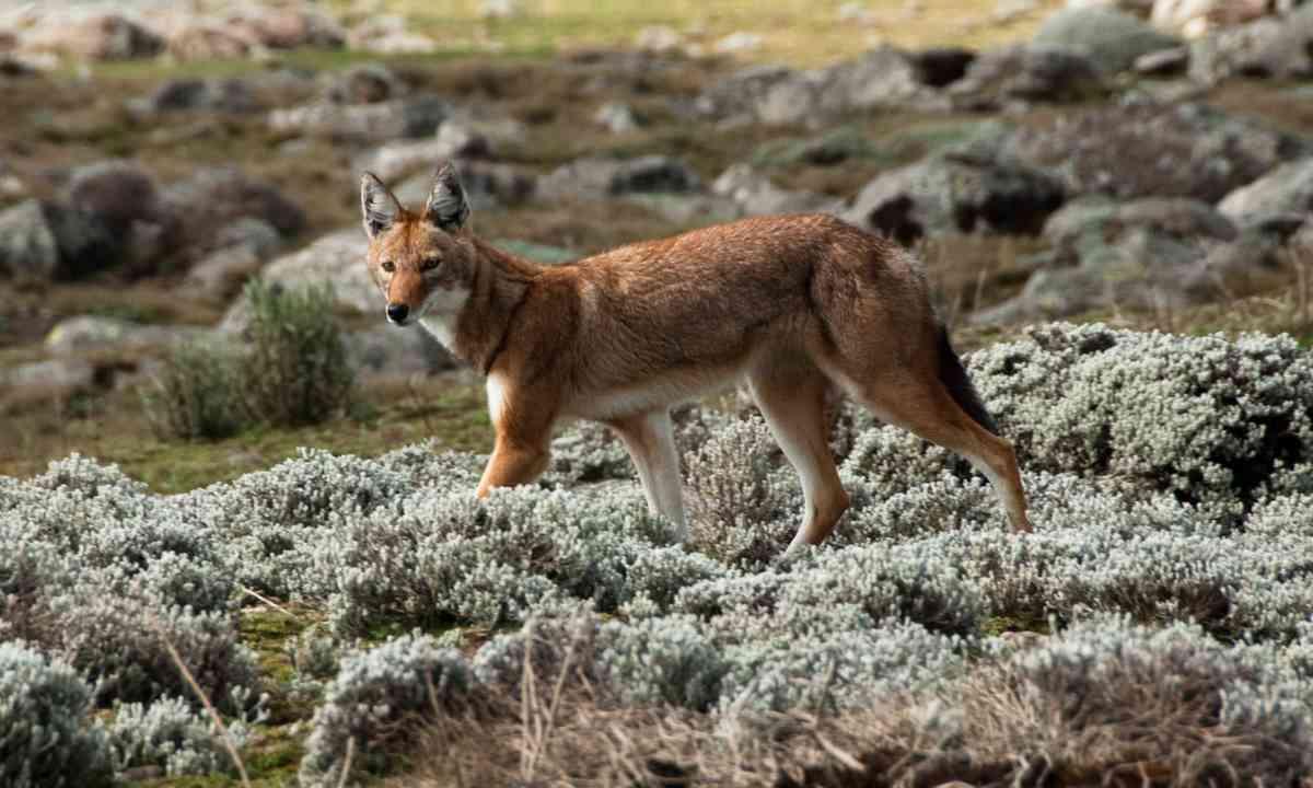Simien wolf, Ethiopian Highlands (Shutterstock.com)