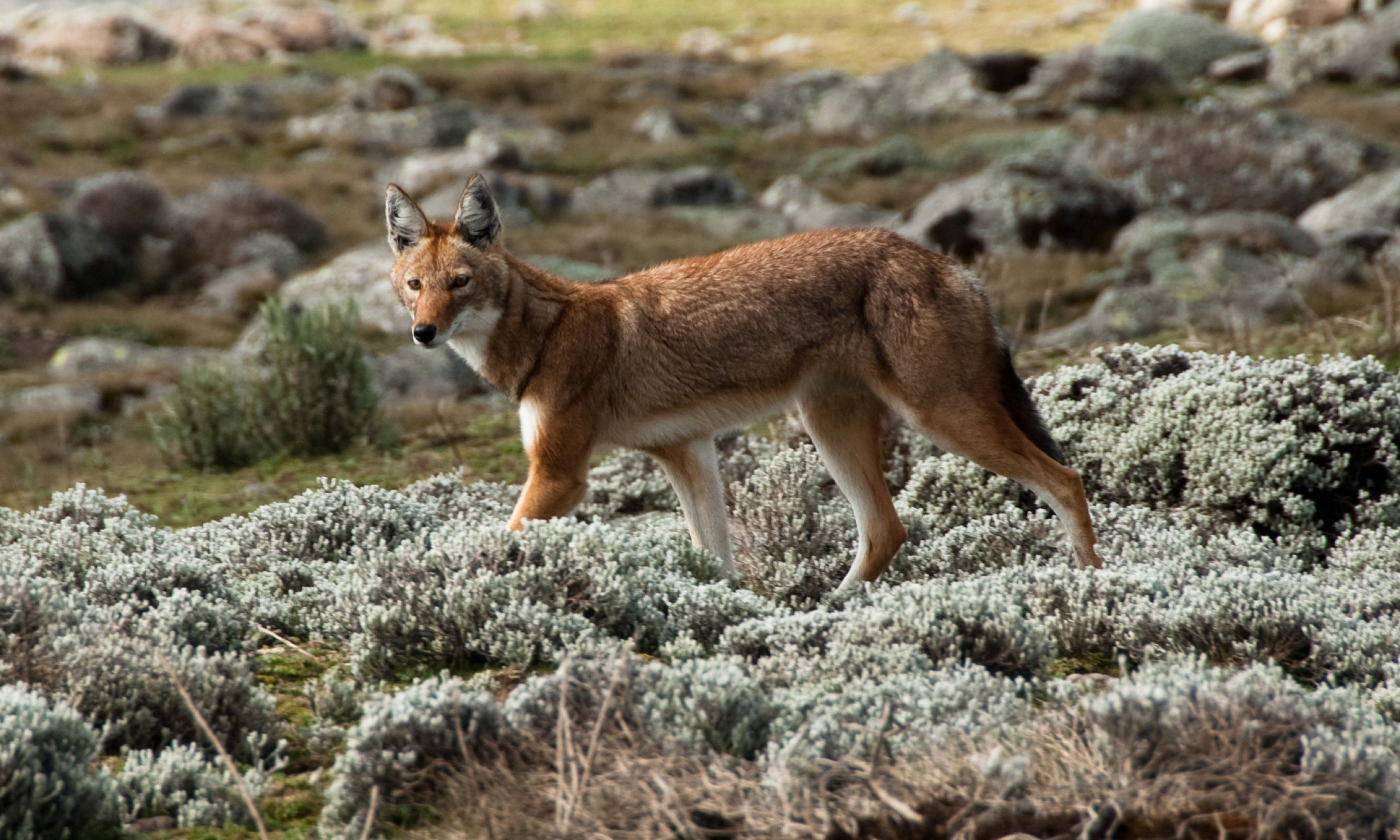 Simien wolf, Ethiopian Highlands (Shutterstock.com)