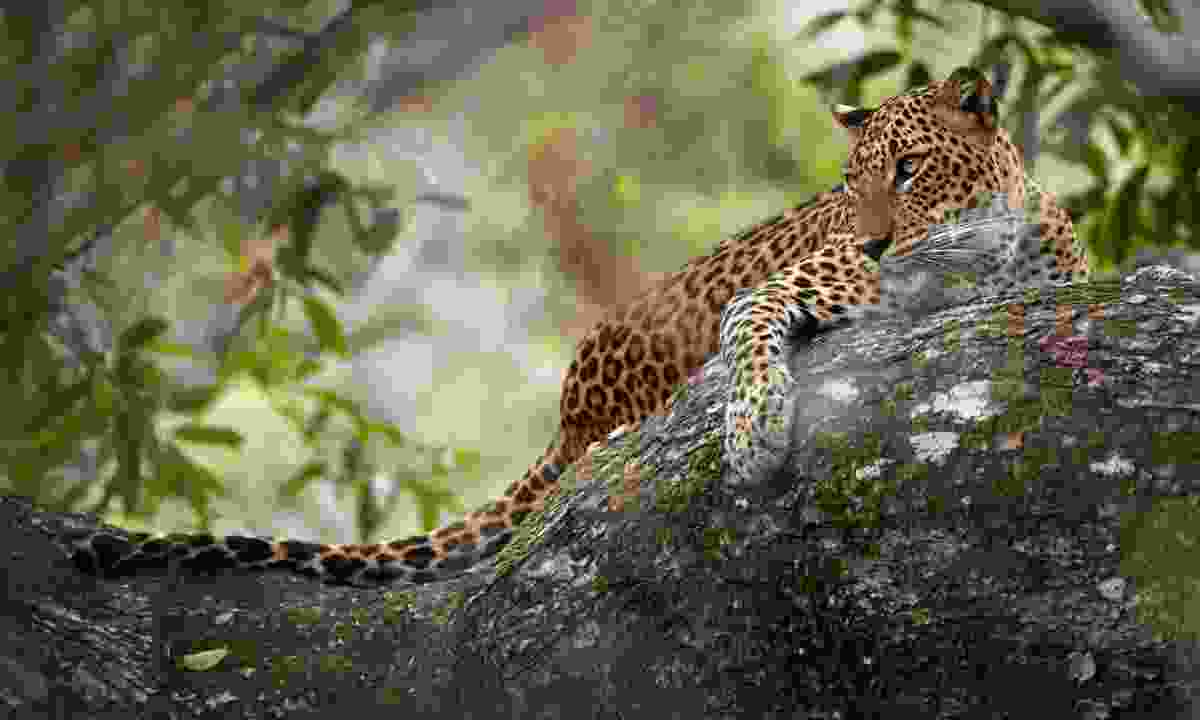 Leopard in Yala National Park (Shutterstock)