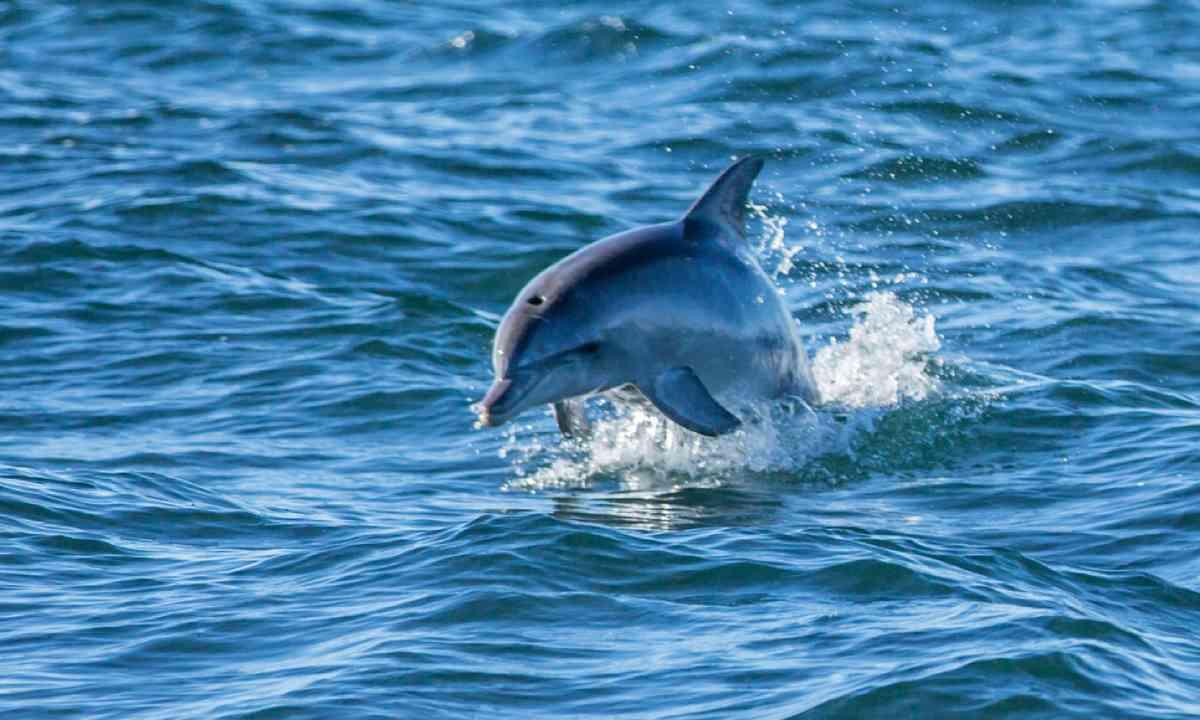 Wild dolphin (SATC)