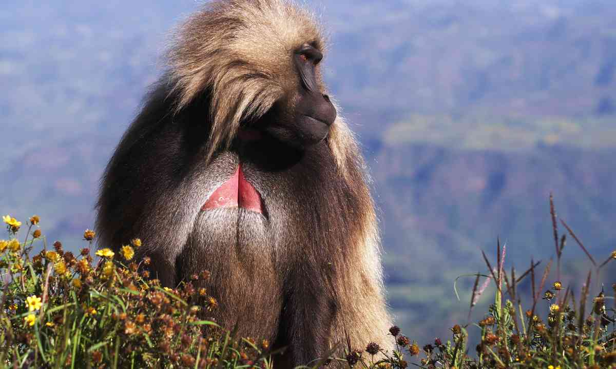 Male Gelada baboon in Simien mountains (Shutterstock.com)
