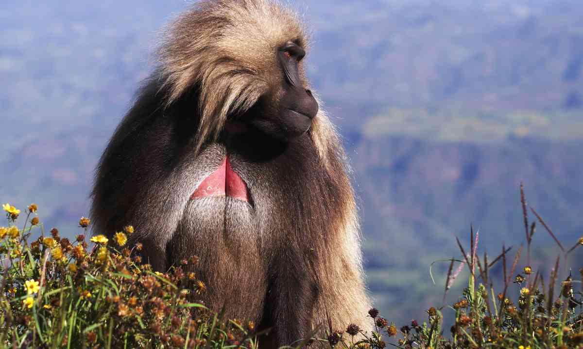 Male Gelada baboon in Simien mountains (Shutterstock.com)