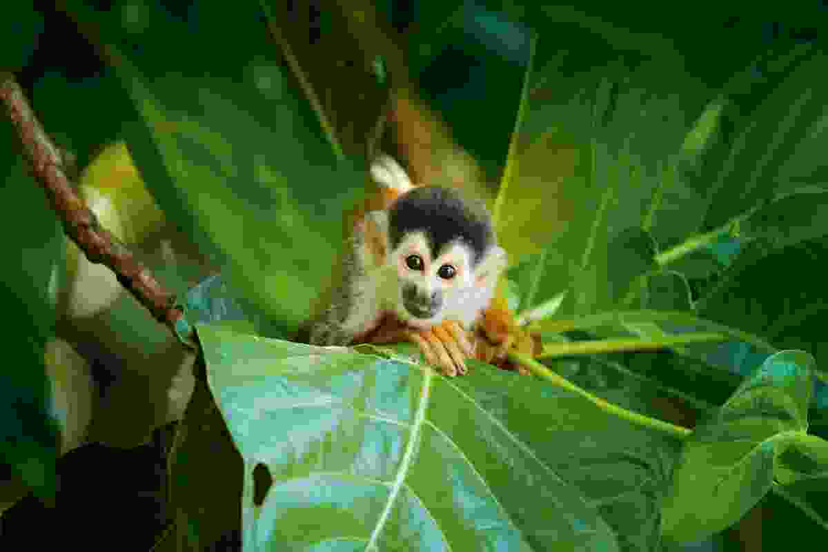 Squirrel monkey, Corcovado, Costa Rica (Shutterstock)