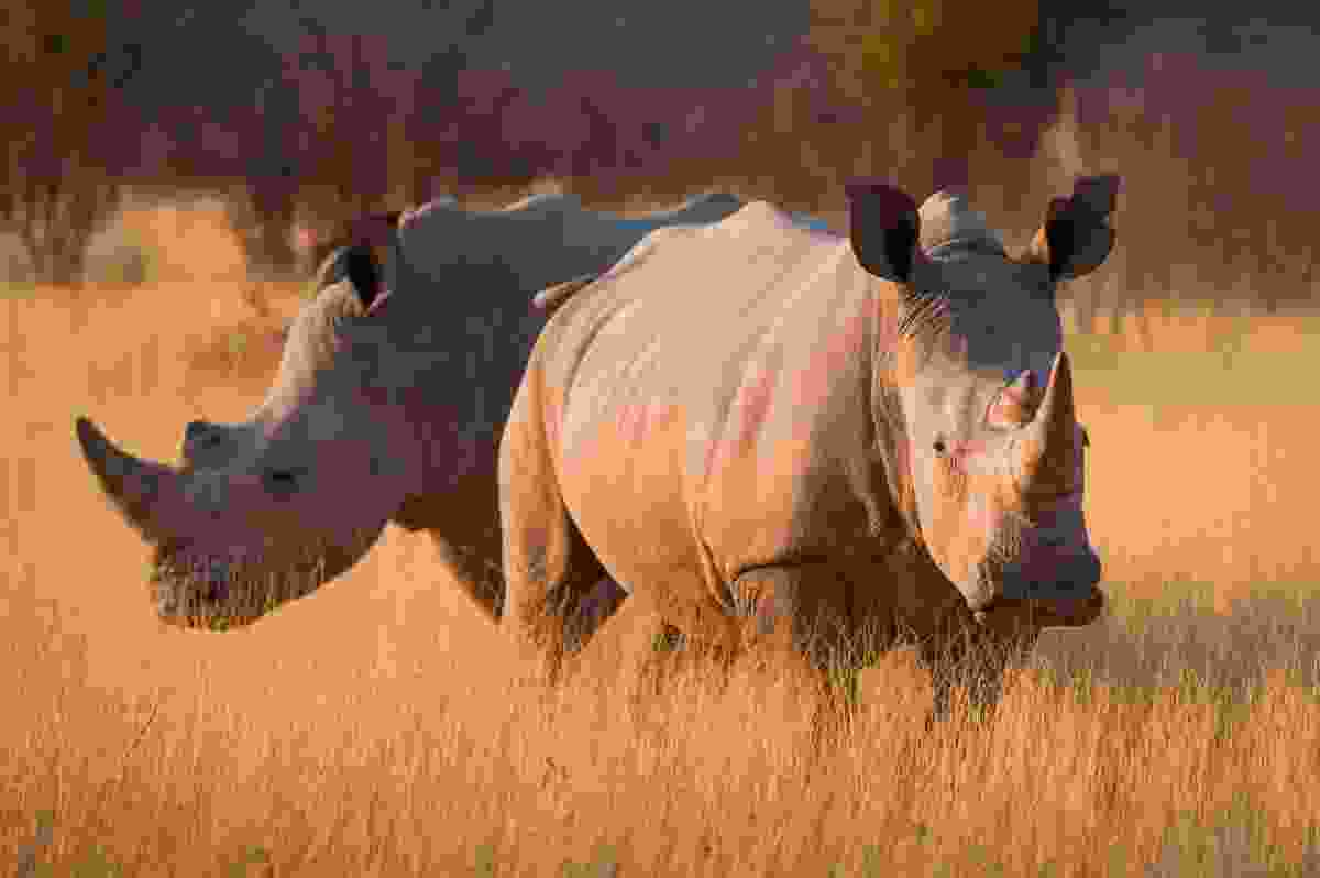 White rhinos, Ongava Game Reserve, Namibia (Frans Lanting)