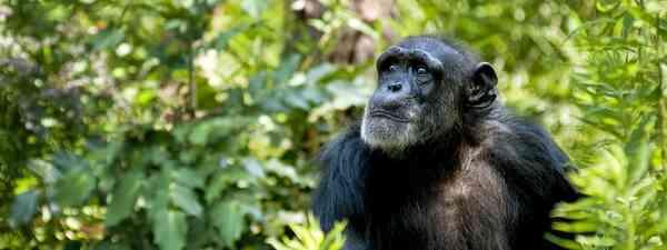 Chimpanzee, Sierra Leone. (Shutterstock)