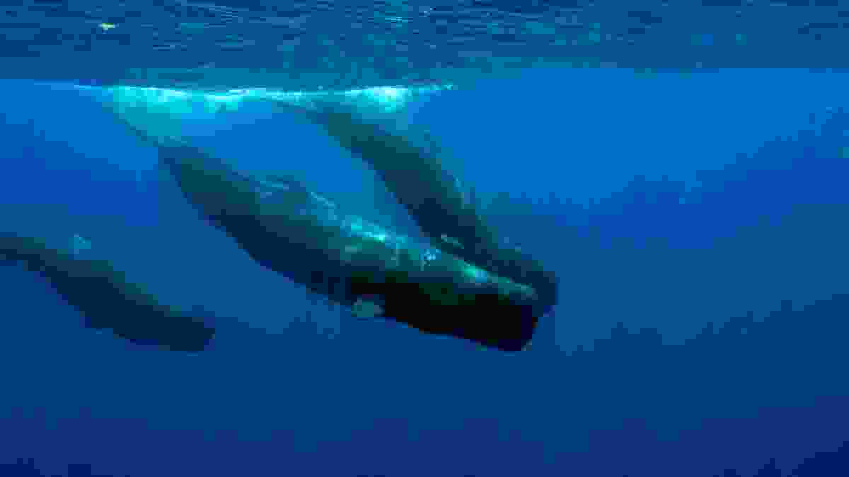 Swimming with sperm whales in Dominica (Shutterstock)