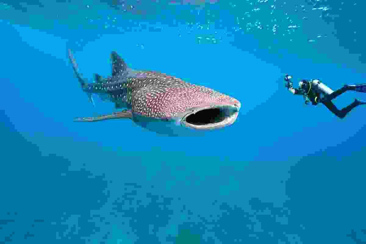 A whale shark next to a scuba diver (Shutterstock)