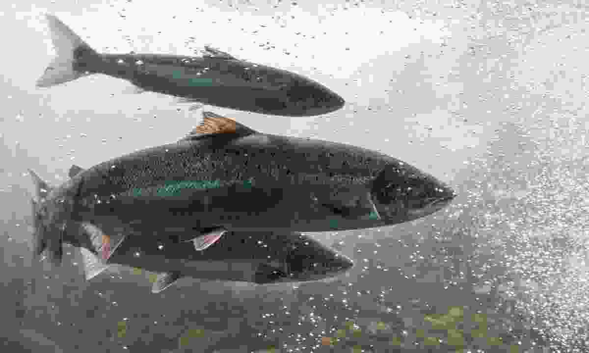 Salmon swimming at Fundy National Park, New Brunswick (Dreamstime)